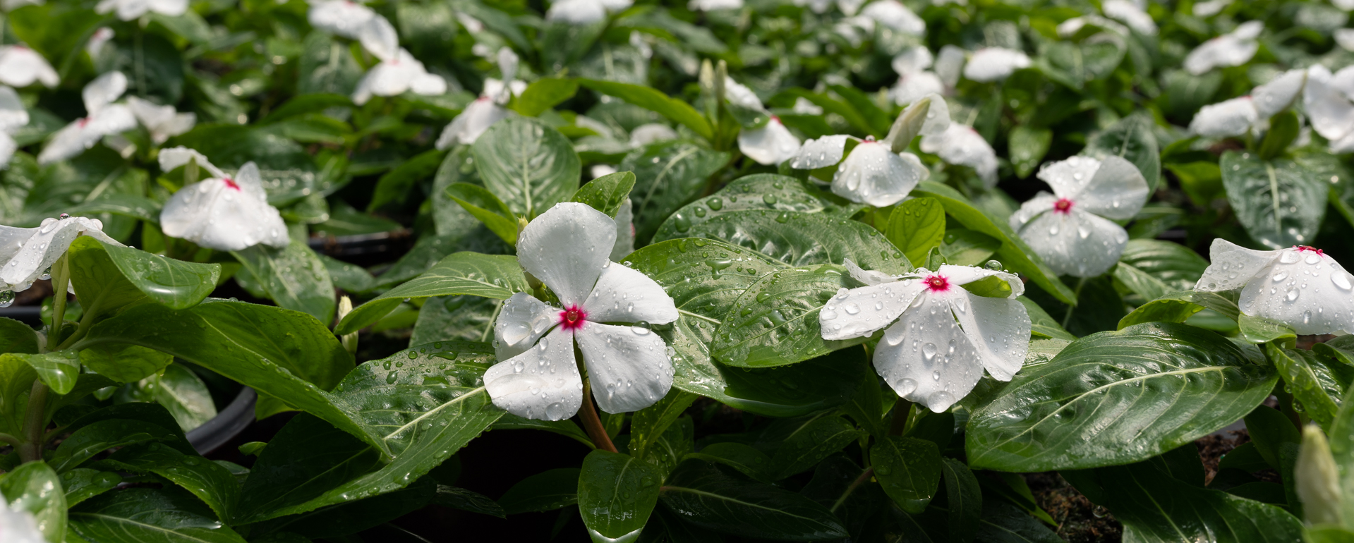 cora vinca heat loving flower