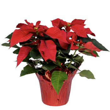 6.5 Inch Red Poinsettia with Foil